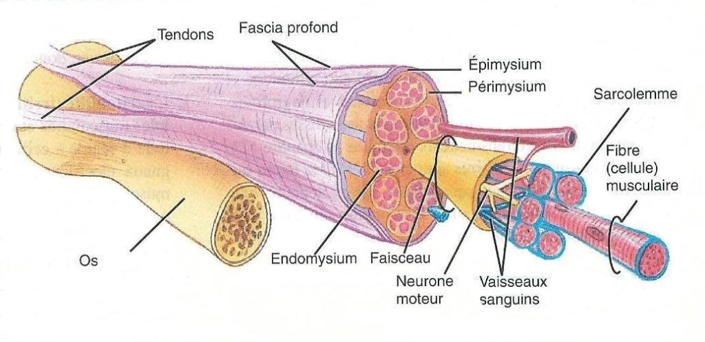 Structure du tendon