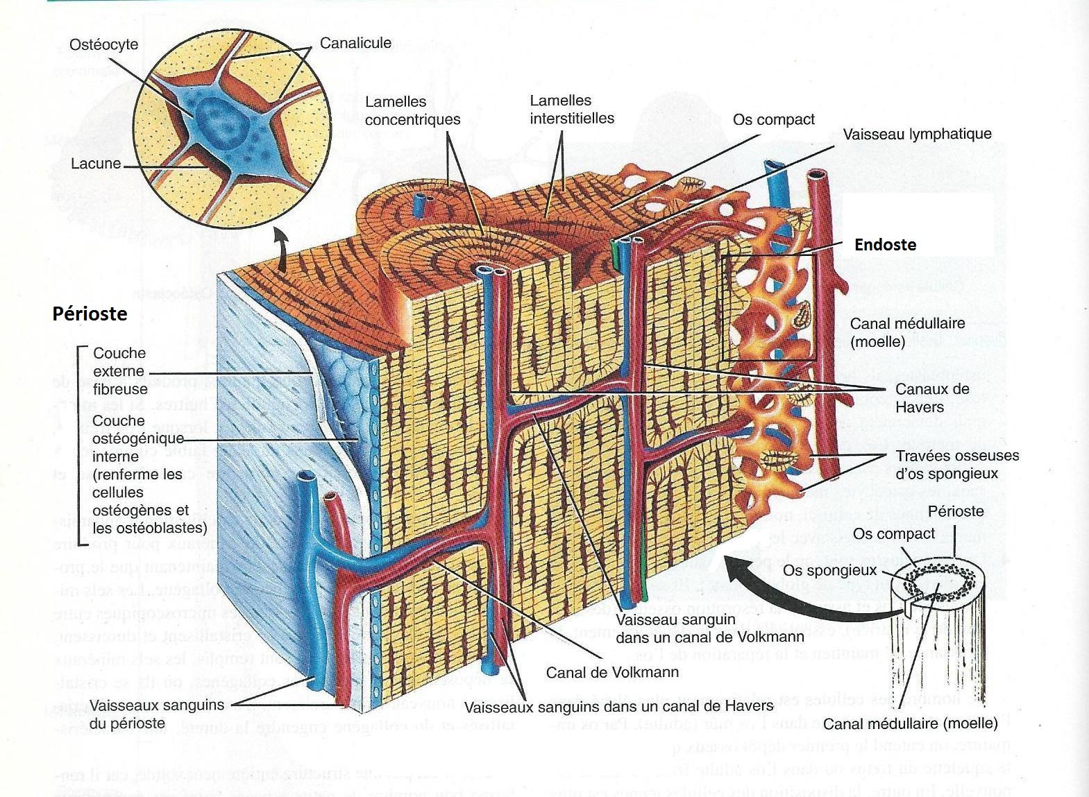 Structure de l'os tibia