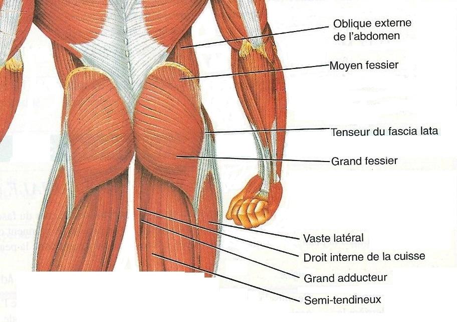 Muscles de la fesse